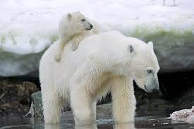 Polar Bears: On the edge of extinction